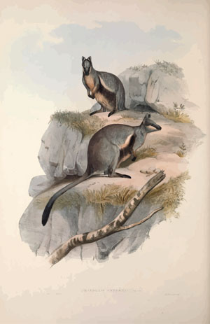 A monograph of the Macropodidæ or family of kangaroos John Gould 1842
